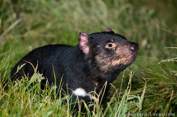 A large Tasmanian devil sniffs the air.