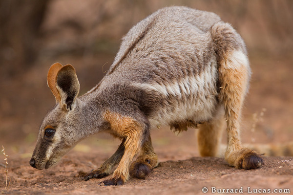 Foraging Wallaby