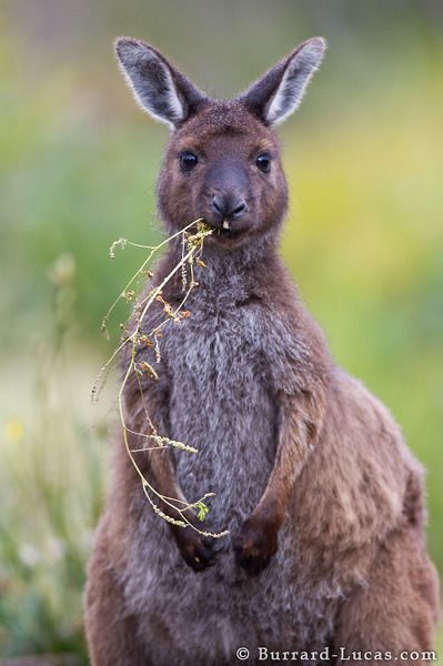 Kangaroo Eating