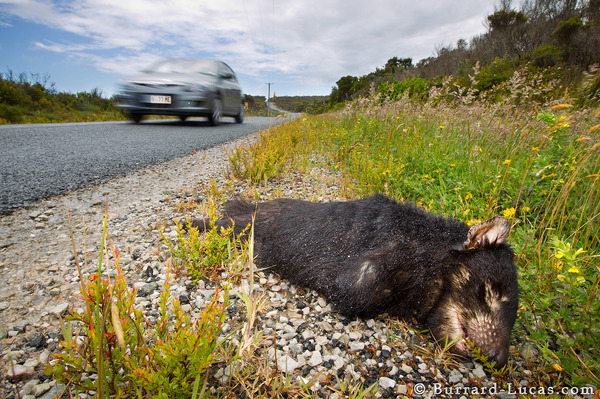 Tassie devils feed on roadkill and often become victims themselves.