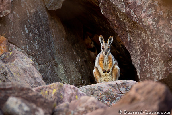 Yellow-footed Rock-wallaby, Flinders Ranges