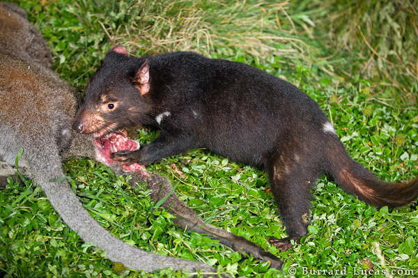 A Tasmanian devil feeding on a wallaby roadkill.