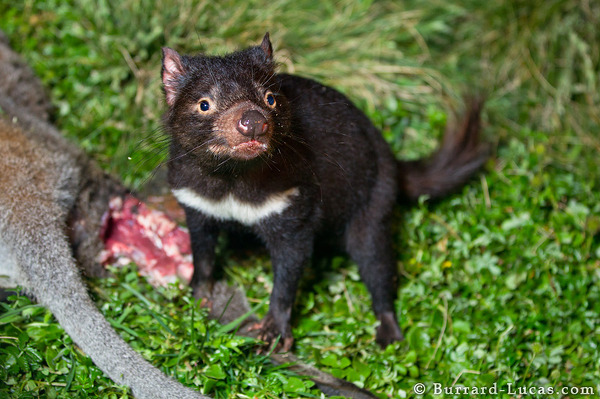 A Tasmanian devil standing over a wallaby carcass.