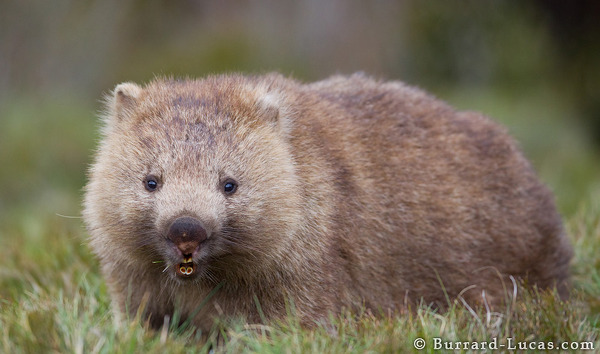 Wombat Mouth