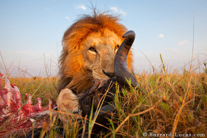 A male lion with his kill.