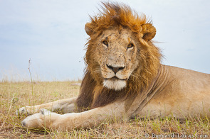 A male lion looks sedately at BeetleCam.