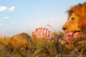 BeetleCam photographing a lion with his kill.