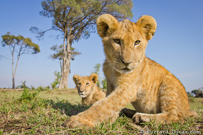 Lion cubs playing with BeetleCam.