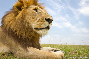 An impressive male lion ignores BeetleCam.