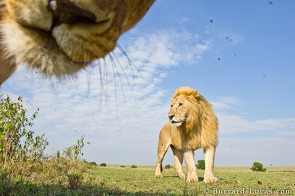 A lioness pokes her nose into the frame as we were trying to photograph a young male… a sort of lion photobomb! :)