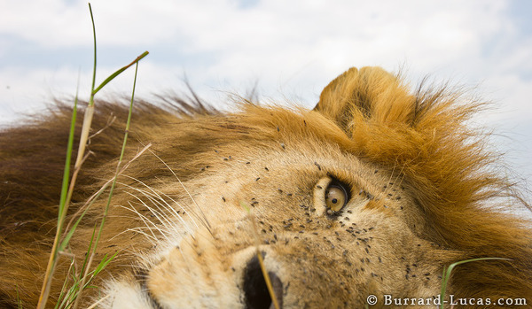 BeetleCam snuck up to this sleeping lion and then got a bit of a shock when his eyes flew wide open!