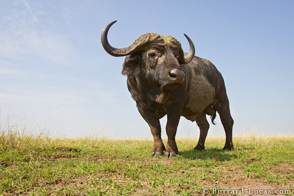 BeetleCam Buffalo