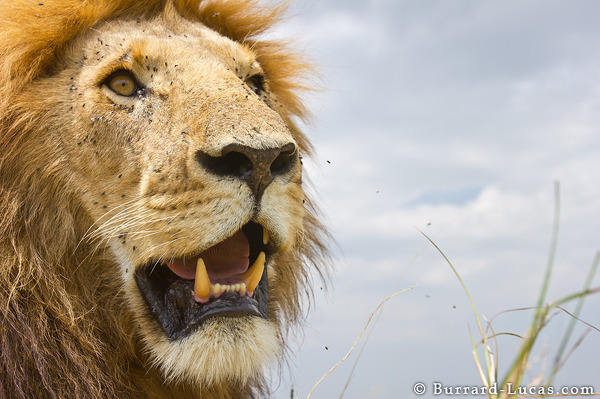 This male lion didn't mind BeetleCam getting very close!