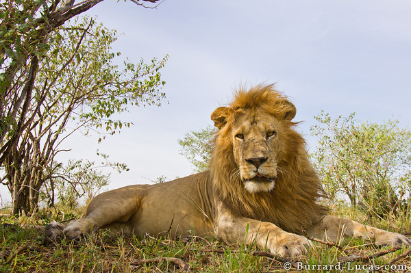 BeetleCam Male Lion