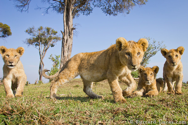 Inquisitive cubs closing in on BeetleCam.