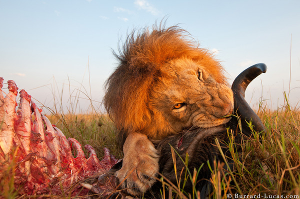 A male lion eating a wildebeest at sunrise.