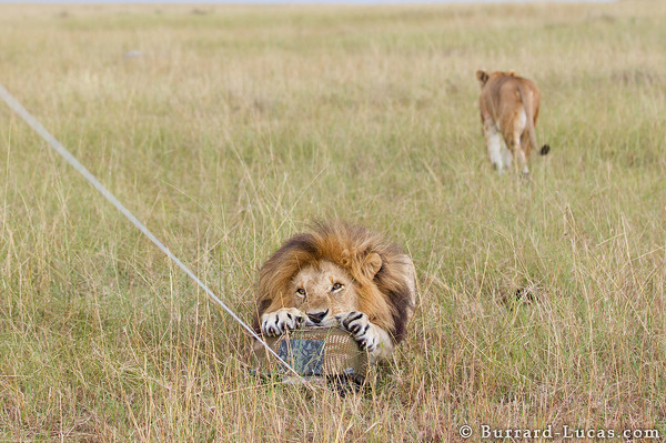 Lion Attacking BeetleCam