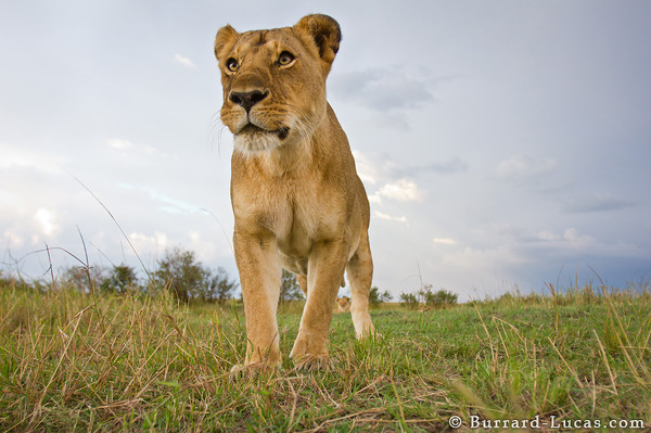 A powerful lioness approaches BeetleCam.