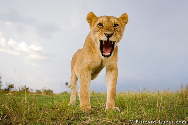 It looks like this lioness is roaring, but she's actually just yawning!