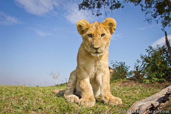 A cub sitting in front of BeetleCam.