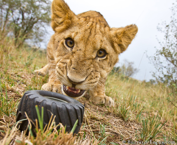A naughty lion cub about to run off with BeetleCam's wheel!