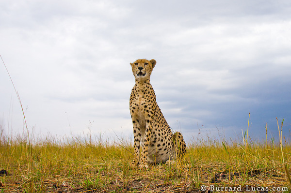 Wide-angle Cheetah