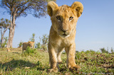 Adorable Lion Cub