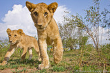 Approaching Cubs