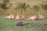 BeetleCam Four Lionesses