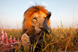 BeetleCam Lion Kill