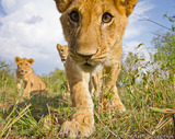 Close-up Lion Cub