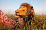 Lion Chewing