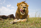 Lion Tongue