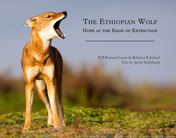 The Ethiopian Wolf: Hope at the Edge of Extinction