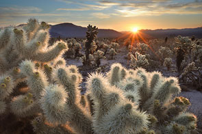 Chollas Cactus Sunrise by Cliff LaPlant