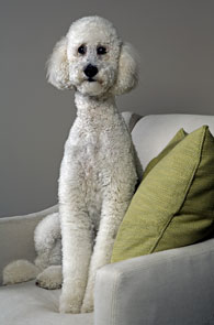 Vogue Poodle by Peter Nash