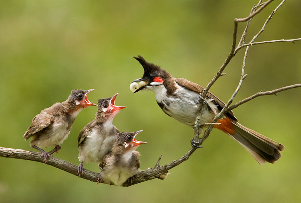 Red-whiskered Bulbul Family by Arun Kumar N.K.