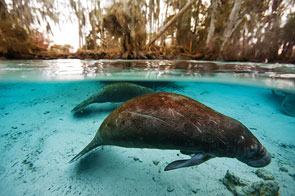 Scarred Manatee by Ben Horton