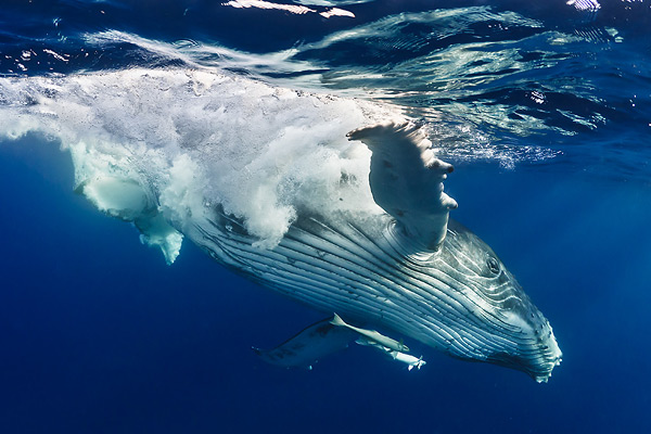 Humpback Whale Diving by Fabien Michenet