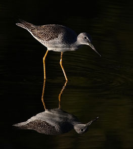 Yellowlegs Reflects by Jim Cumming