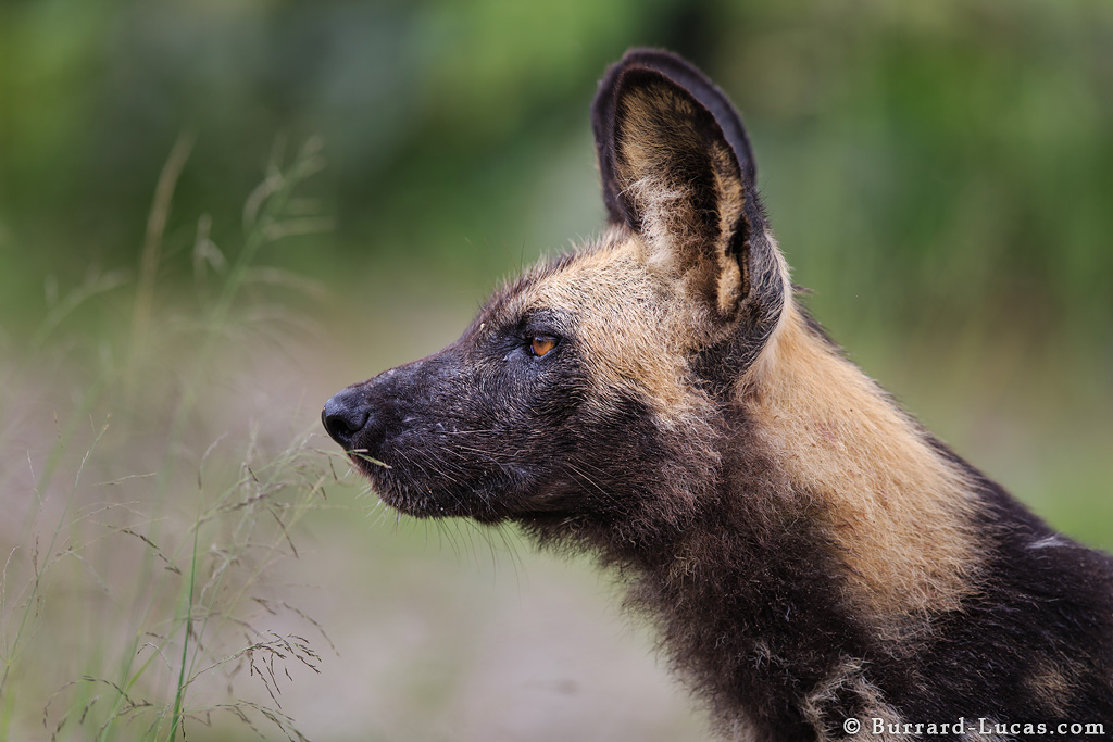 Remote Control Dog >> African Wild Dog Profile - Burrard-Lucas Photography
