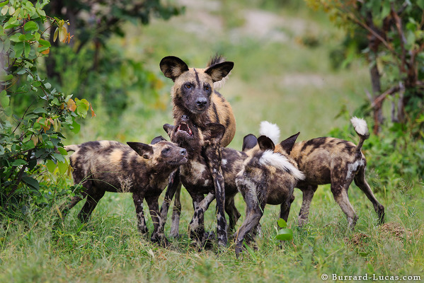 A Family of African Wild Dogs