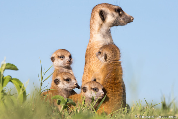 Group of Baby Meerkats