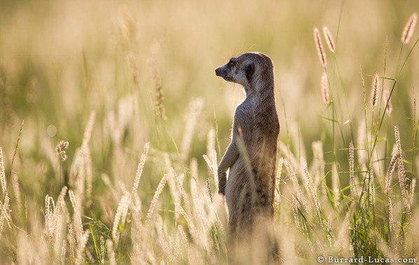 Meerkat in Beautiful Light