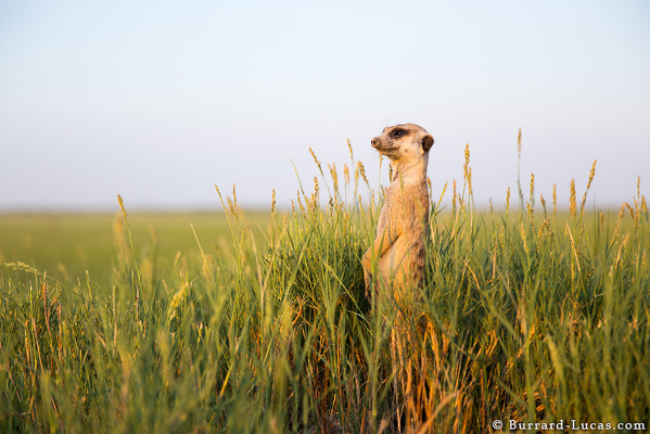 Meerkat Surrounded by Grass
