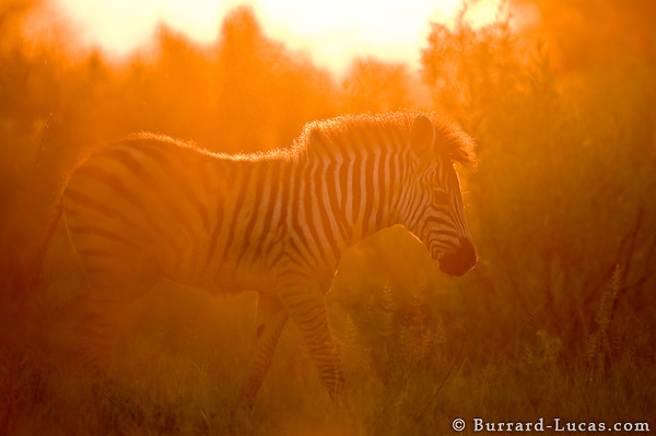 Sunset Zebra