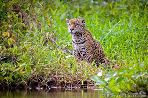Jaguar by the River