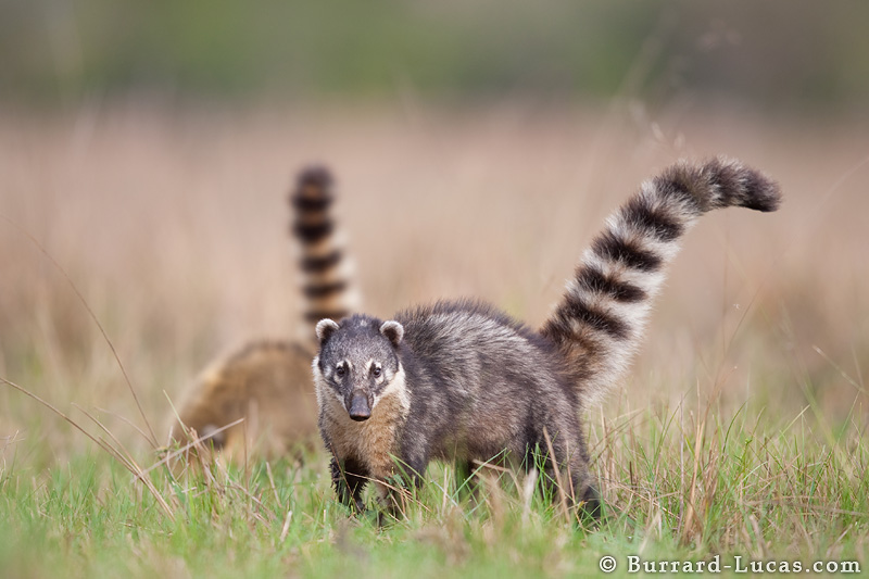 Male Ring Tailed Coati