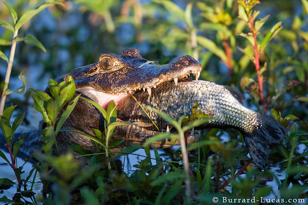 Caiman Eating a Fish