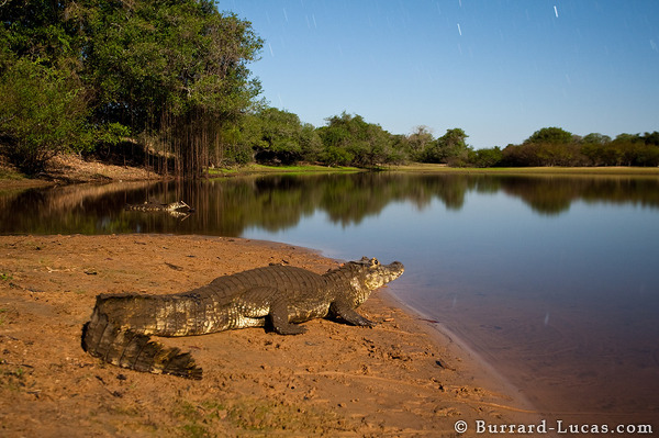 Caiman by Moonlight